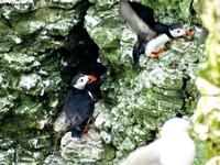 Puffins (Fratercula arctica) at Bempton Cliffs 12-07-2014 � Paul Bartlett [1w]