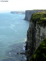 Bempton Cliffs 12-07-2014 � Paul Bartlett [2w]