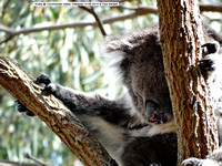 Koala @ Coromandel Valley, Adelaide 14-09-2014 � Paul Bartlett DSC04251