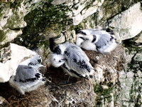 Kittiwake (Rissa tridactyla) nursery at Bempton Cliffs 12-07-2014 � Paul Bartlett [w]