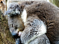 Koala sleeping @ Koala Conservation Centre, Phillip Island, Victoria 20-09-2014 � Paul Bartlett DSC05243