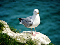 Herring gull (Larus argentatus) at Bempton Cliffs 12-07-2014 � Paul Bartlett [w]