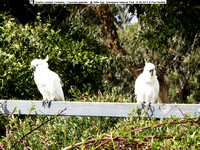 Sulphur-crested Cockatoo (Cacutata galerita) @ Halls Gap, Grampians National Park 18-09-2014 � Paul Bartlett DSC04914