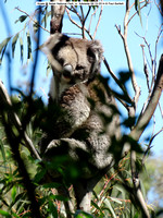 Koala sleeping @ Belair National Park, nr. Adelaide 09-10-2014 � Paul Bartlett DSC07781