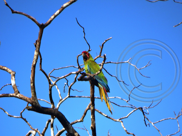 Great Green Macaw Ara ambiguus @ Laguna Lagarto Lodge © Paul Bartlett DSC01214