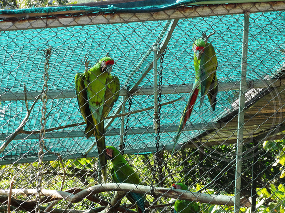 Great Green Macaw Ara ambiguus @ Punta Islita © Paul Bartlett DSC09813