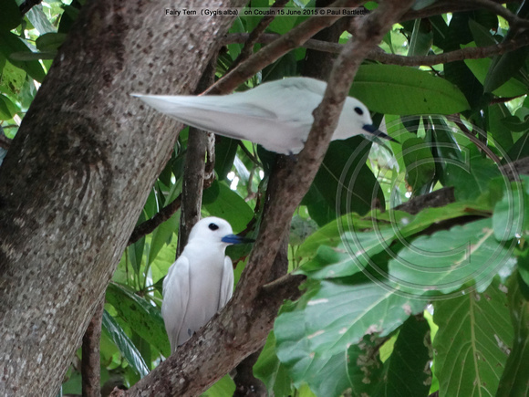 Fairy Tern (Gygis alba) on Cousin 15 June 2015 © Paul Bartlett