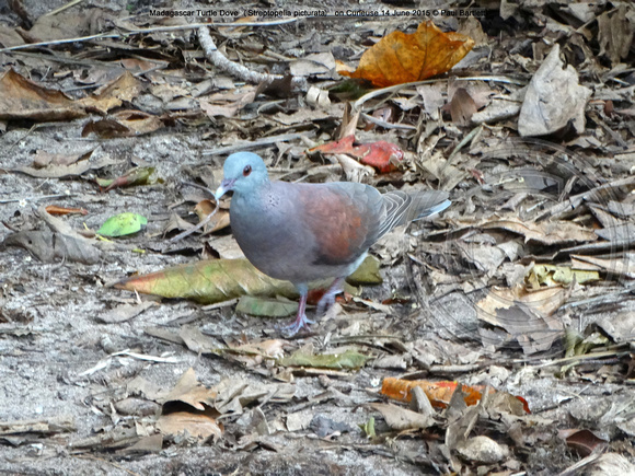 Madagascar Turtle Dove (Streptopelia picturata) on Curieuse 14 June 2015 © Paul Bartlett