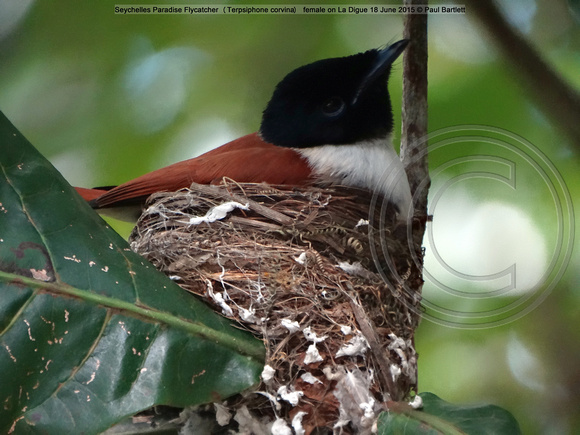 Seychelles Paradise Flycatcher (Terpsiphone corvina) on La Digue 18 June 2015 © Paul Bartlett