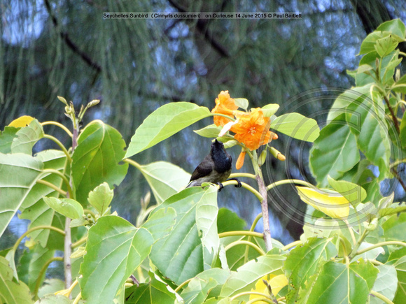 Seychelles Sunbird (Cinnyris dussumieri) on Curieuse 14 June 2015 © Paul Bartlett