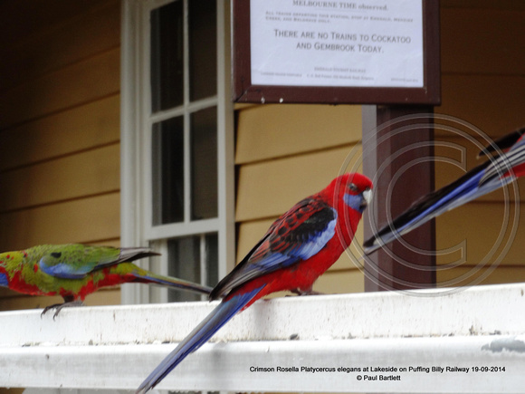 Crimson Rosella Platycercus elegans at Lakeside on Puffing Billy Railway 19-09-2014 � Paul Bartlett DSC05027