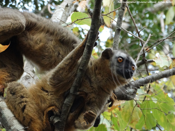Red-fronted lemur (Eulemur rufifrons) @ Kirindy Forest 14-07-2016 © Paul Bartlett [2]