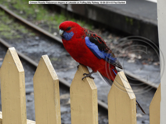 Crimson Rosella Platycercus elegans at Lakeside on Puffing Billy Railway 19-09-2014 � Paul Bartlett DSC05030