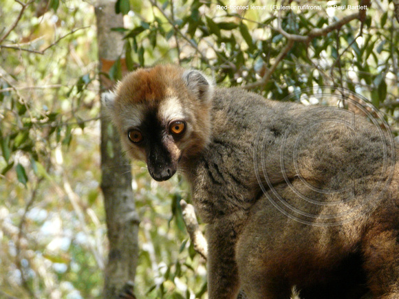 Red-fronted lemur (Eulemur rufifrons) @ Kirindy Forest 14-07-2016 © Paul Bartlett [1]