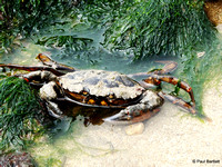 Crab at Flamborough South Landing 12-07-2014 � Paul Bartlett [1w]