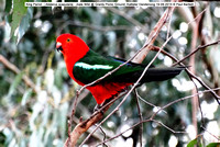 King Parrot (Alisterus scapularis) male Wild @ Grants Picnic Ground, Kallister Dandenong 19-09-2014 © Paul Bartlett DSC05146