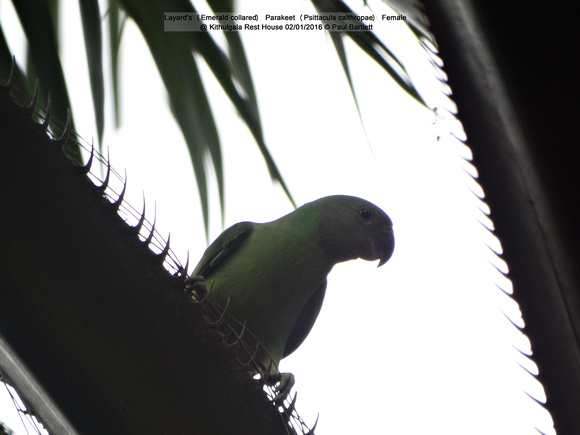 Layard's (Emerald collared) Parakeet (Psittacula calthropae) Female @ Kithulgala Rest House 2016-01-02 © Paul Bartlett [2w]