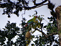 Great Green Macaw Ara ambiguus @ Laguna Lagarto Lodge © Paul Bartlett DSC00589