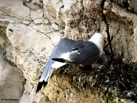 Kittiwakes (Rissa tridactyla)at Bempton Cliffs 12-07-2014 � Paul Bartlett [2w]
