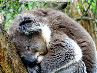 Koala sleeping @ Koala Conservation Centre, Phillip Island, Victoria 20-09-2014 � Paul Bartlett DSC05244