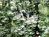 Puffins (Fratercula arctica) at Bempton Cliffs 12-07-2014 � Paul Bartlett [3w]