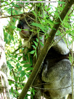 Koala sleeping @ Belair National Park, nr. Adelaide 09-10-2014 � Paul Bartlett DSC07767